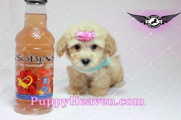 Stacey Dash - Teacup Maltipoo Puppy has found a good loving home with Dean from Las Vegas, NV 89148-0