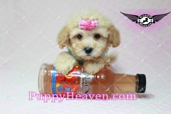 Stacey Dash - Teacup Maltipoo Puppy has found a good loving home with Dean from Las Vegas, NV 89148-10937