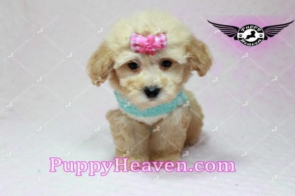 Stacey Dash - Teacup Maltipoo Puppy has found a good loving home with Dean from Las Vegas, NV 89148-10936