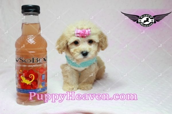 Stacey Dash - Teacup Maltipoo Puppy has found a good loving home with Dean from Las Vegas, NV 89148-10940