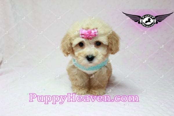 Stacey Dash - Teacup Maltipoo Puppy has found a good loving home with Dean from Las Vegas, NV 89148-10935