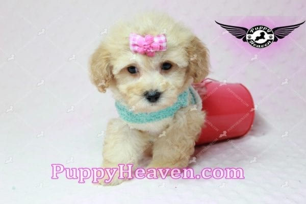 Stacey Dash - Teacup Maltipoo Puppy has found a good loving home with Dean from Las Vegas, NV 89148-10938