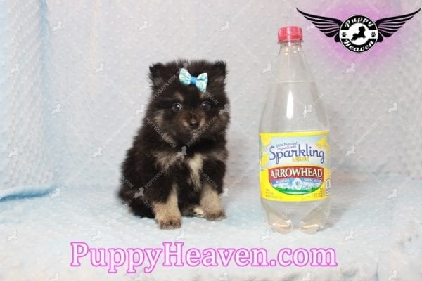 Gus - Teacup Pomeranian Puppy has found a good loving home with Tanner & Joy from Las Vegas, NV 89135-10099