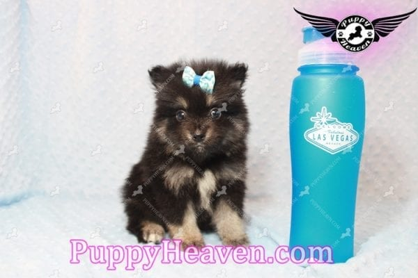 Gus - Teacup Pomeranian Puppy has found a good loving home with Tanner & Joy from Las Vegas, NV 89135-10097