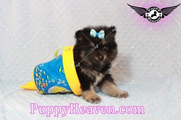 Gus - Teacup Pomeranian Puppy has found a good loving home with Tanner & Joy from Las Vegas, NV 89135-10098