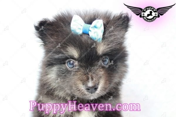 Gus - Teacup Pomeranian Puppy has found a good loving home with Tanner & Joy from Las Vegas, NV 89135-10101