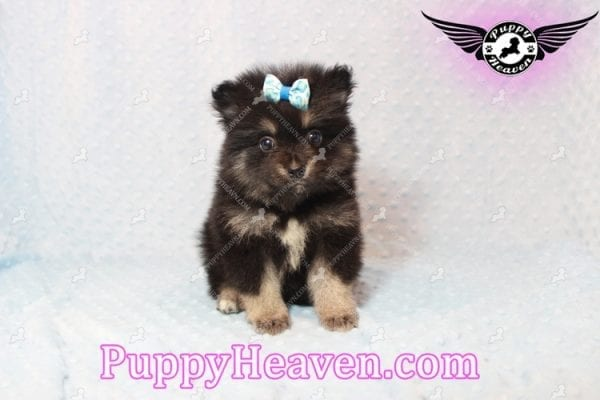 Gus - Teacup Pomeranian Puppy has found a good loving home with Tanner & Joy from Las Vegas, NV 89135-10100