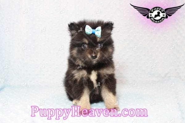 Gus - Teacup Pomeranian Puppy has found a good loving home with Tanner & Joy from Las Vegas, NV 89135-0