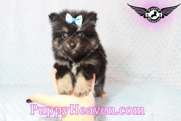 Gus - Teacup Pomeranian Puppy has found a good loving home with Tanner & Joy from Las Vegas, NV 89135-10102