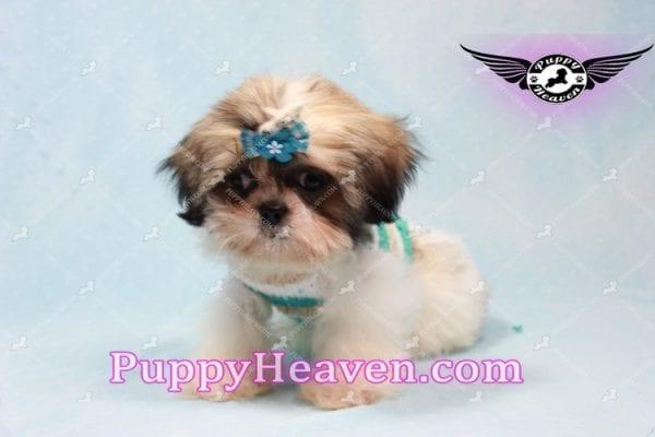 Superman - Teacup Shih Tzu Puppy -10948