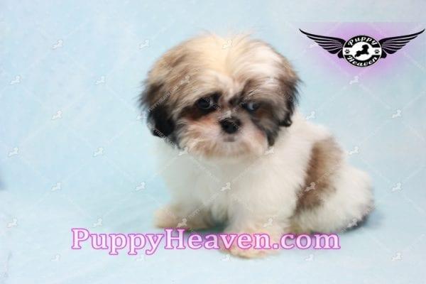Superman - Teacup Shih Tzu Puppy -10954