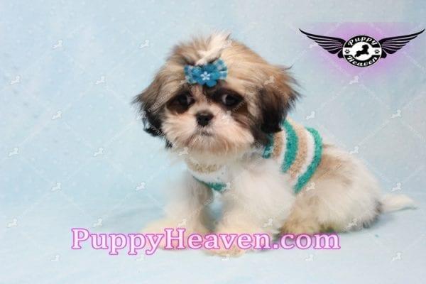 Superman - Teacup Shih Tzu Puppy -10946