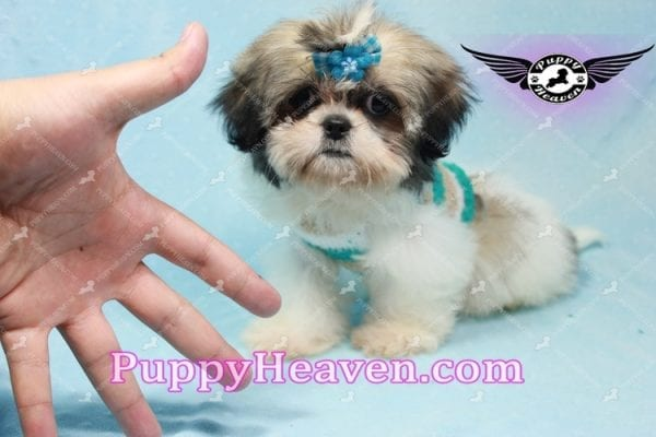 Superman - Teacup Shih Tzu Puppy -10951