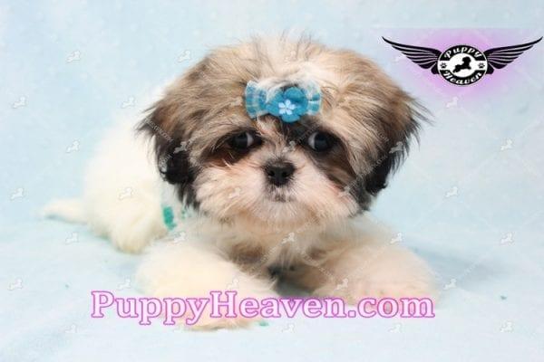 Superman - Teacup Shih Tzu Puppy -10945