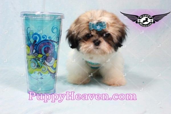 Superman - Teacup Shih Tzu Puppy -10950
