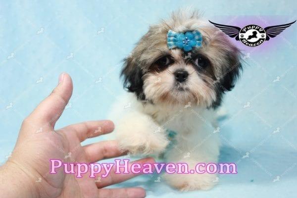 Superman - Teacup Shih Tzu Puppy -10942