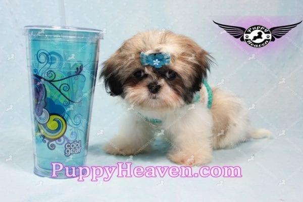 Superman - Teacup Shih Tzu Puppy -10944