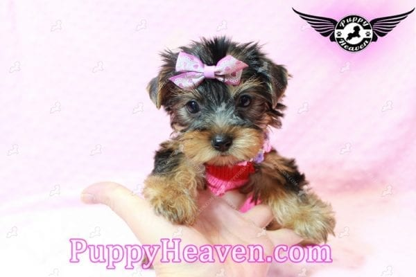Taylor Swift - Teacup Yorkie Puppy has found a good loving home with Lovine from Las Vegas, NV 89147-11231