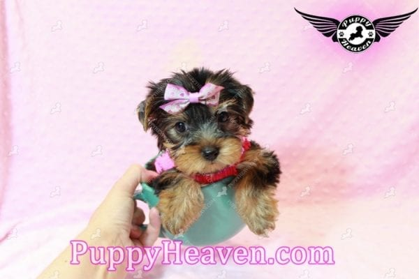 Taylor Swift - Teacup Yorkie Puppy has found a good loving home with Lovine from Las Vegas, NV 89147-11233