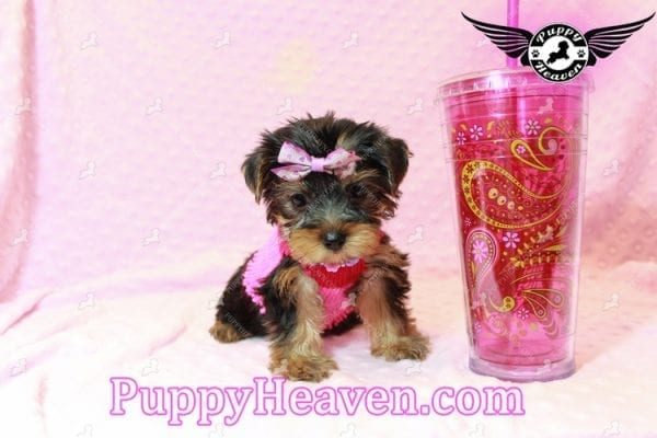 Taylor Swift - Teacup Yorkie Puppy has found a good loving home with Lovine from Las Vegas, NV 89147-11238