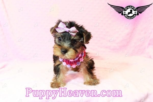 Taylor Swift - Teacup Yorkie Puppy has found a good loving home with Lovine from Las Vegas, NV 89147-11237