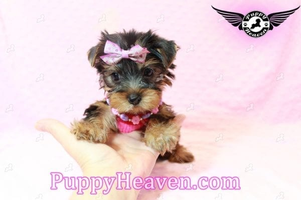 Taylor Swift - Teacup Yorkie Puppy has found a good loving home with Lovine from Las Vegas, NV 89147-11236