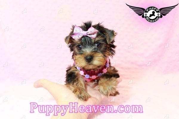 Taylor Swift - Teacup Yorkie Puppy has found a good loving home with Lovine from Las Vegas, NV 89147-11235