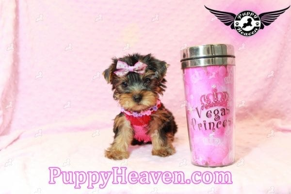 Taylor Swift - Teacup Yorkie Puppy has found a good loving home with Lovine from Las Vegas, NV 89147-0