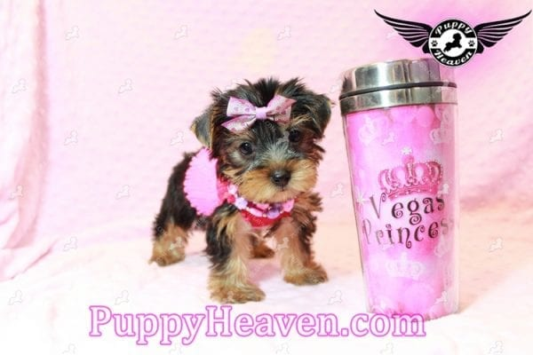 Taylor Swift - Teacup Yorkie Puppy has found a good loving home with Lovine from Las Vegas, NV 89147-11232