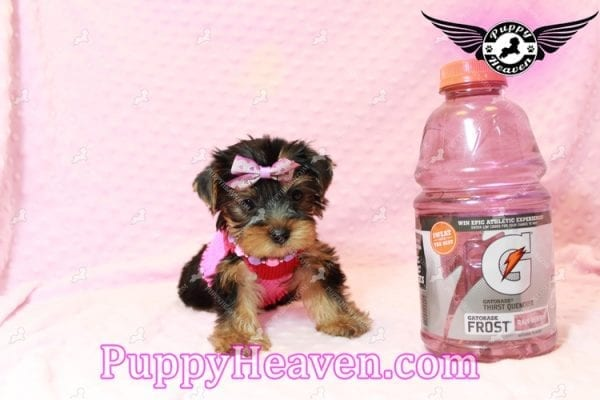 Taylor Swift - Teacup Yorkie Puppy has found a good loving home with Lovine from Las Vegas, NV 89147-11234