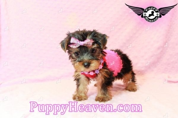 Taylor Swift - Teacup Yorkie Puppy has found a good loving home with Lovine from Las Vegas, NV 89147-11239