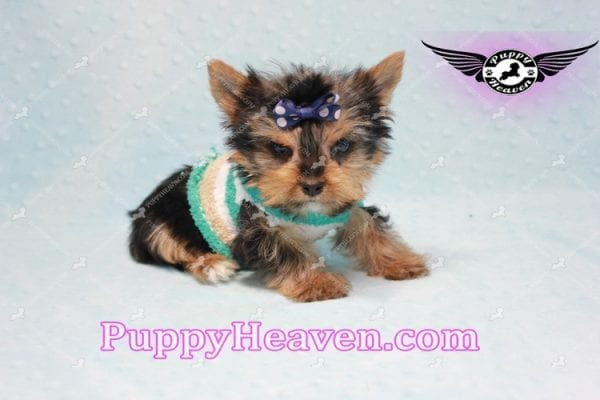 X Man - Teacup Yorkie Puppy -10877