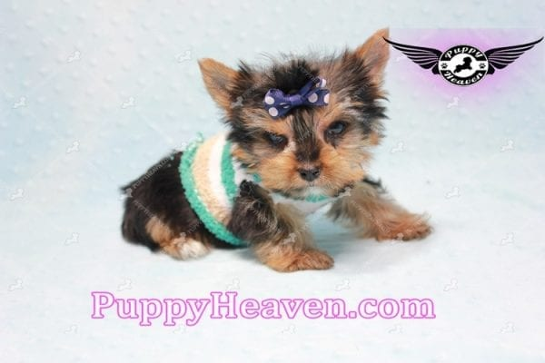 X Man - Teacup Yorkie Puppy -10876