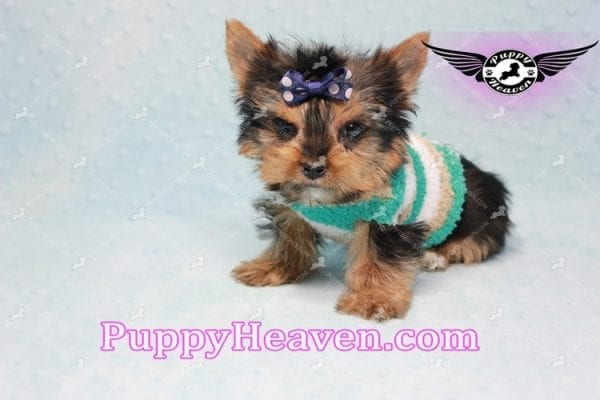 X Man - Teacup Yorkie Puppy -10875