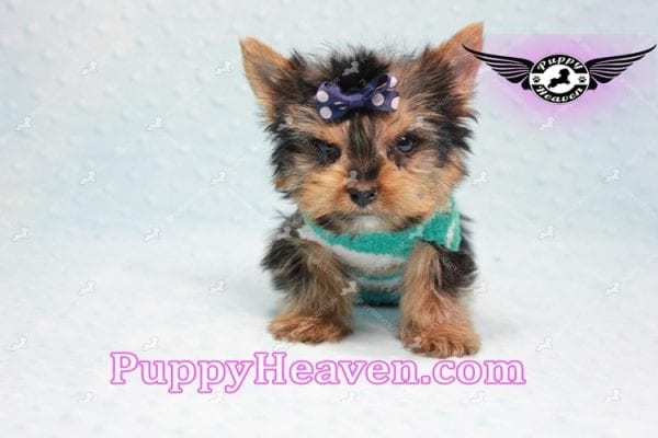 X Man - Teacup Yorkie Puppy -10874