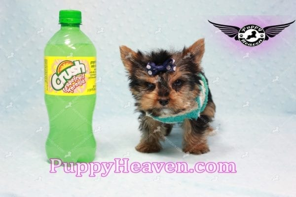 X Man - Teacup Yorkie Puppy -10878