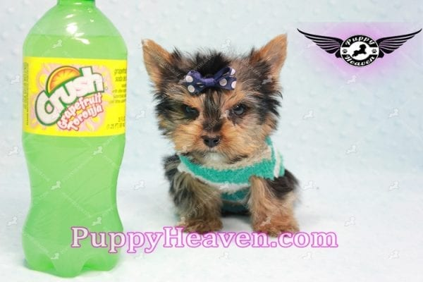 X Man - Teacup Yorkie Puppy -0