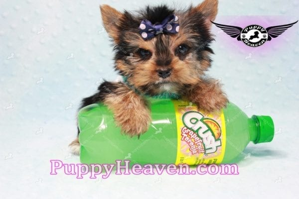 X Man - Teacup Yorkie Puppy -10872