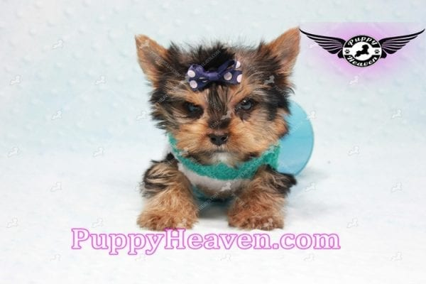 X Man - Teacup Yorkie Puppy -10873