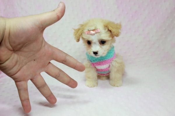 Angelina Jolie - Teacup Maltipoo Puppy In L.A Found A New Loving Home with Leila From Studio City CA 91604 -11729