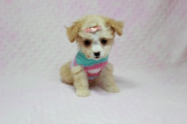Angelina Jolie - Teacup Maltipoo Puppy In L.A Found A New Loving Home with Leila From Studio City CA 91604 -11730