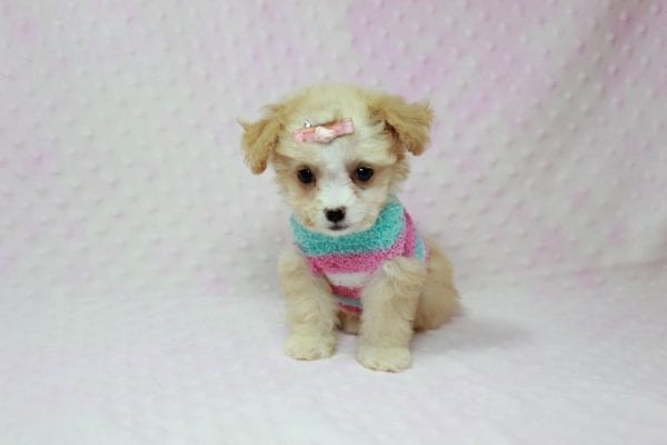 Angelina Jolie - Teacup Maltipoo Puppy In L.A Found A New Loving Home with Leila From Studio City CA 91604 -11738