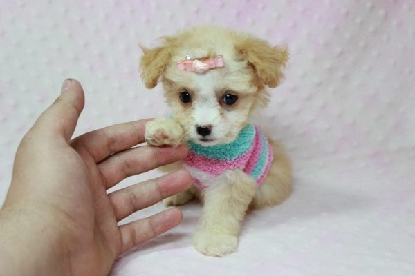 Angelina Jolie - Teacup Maltipoo Puppy In L.A Found A New Loving Home with Leila From Studio City CA 91604 -11733