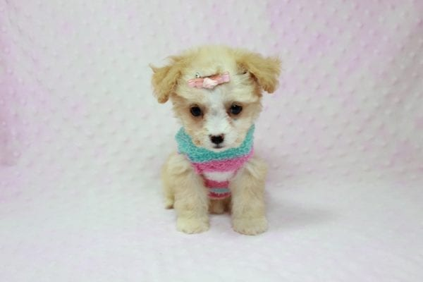 Angelina Jolie - Teacup Maltipoo Puppy In L.A Found A New Loving Home with Leila From Studio City CA 91604 -11736