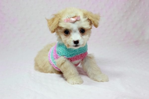 Angelina Jolie - Teacup Maltipoo Puppy In L.A Found A New Loving Home with Leila From Studio City CA 91604 -11742