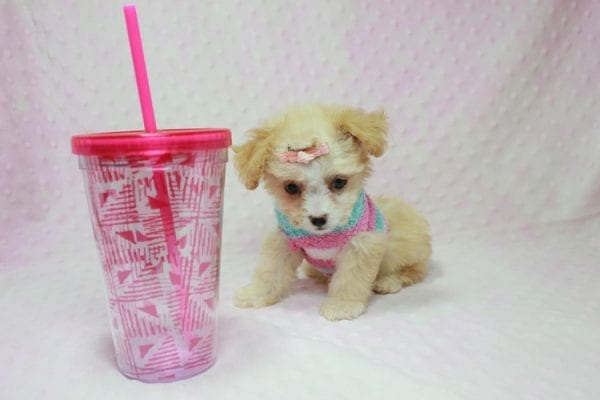 Angelina Jolie - Teacup Maltipoo Puppy In L.A Found A New Loving Home with Leila From Studio City CA 91604 -11732