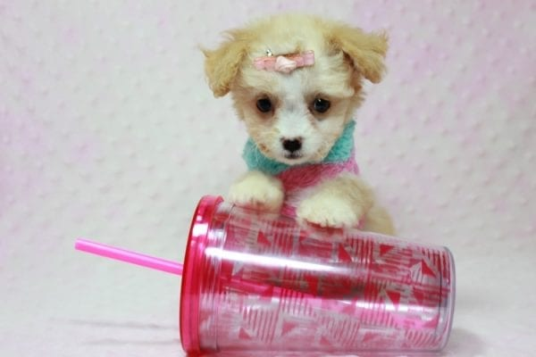Angelina Jolie - Teacup Maltipoo Puppy In L.A Found A New Loving Home with Leila From Studio City CA 91604 -11739