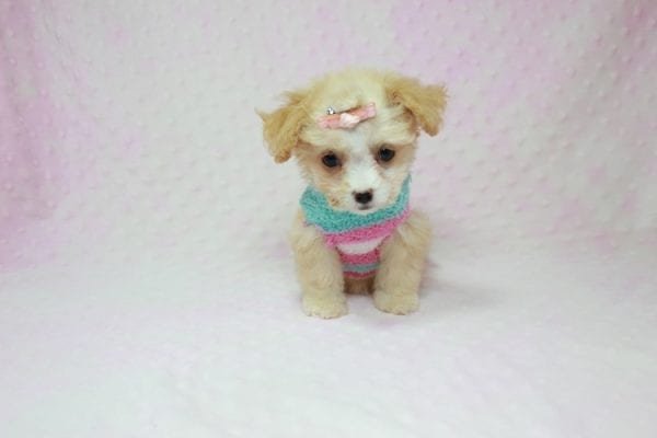 Angelina Jolie - Teacup Maltipoo Puppy In L.A Found A New Loving Home with Leila From Studio City CA 91604 -11734