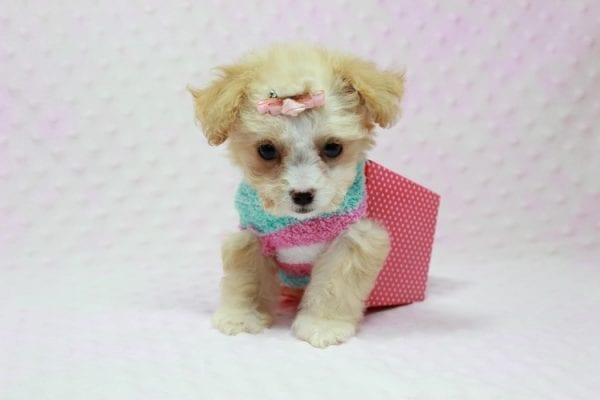 Angelina Jolie - Teacup Maltipoo Puppy In L.A Found A New Loving Home with Leila From Studio City CA 91604 -11735