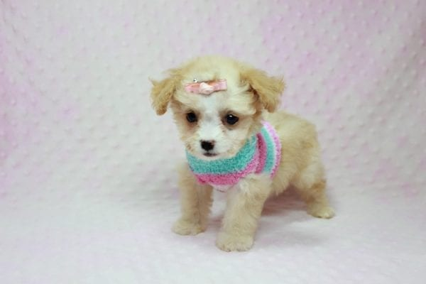 Angelina Jolie - Teacup Maltipoo Puppy In L.A Found A New Loving Home with Leila From Studio City CA 91604 -11737
